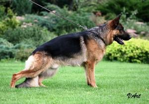 Permalink to:Продажа взрослых собак